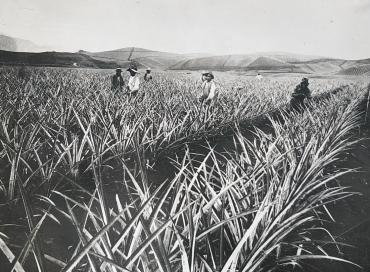 La cueillette des ananas, île d'Hawaï, vers 1930