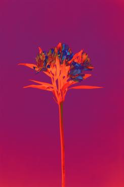 Alstroemeria, 2019
