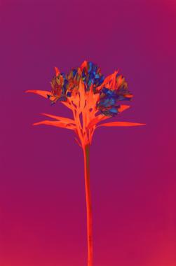 Alstroemeria, 2019 (Signé)