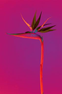 Strelitzia (Oiseau de paradis), 2019