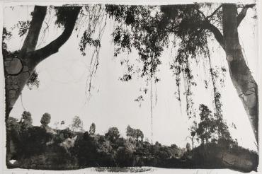 Eucalyptus, Los Angeles, California, 2002
