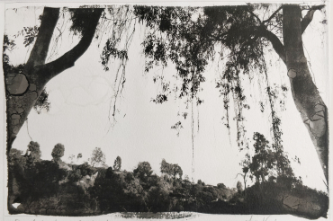 Eucalyptus, Los Angeles, California, 2002