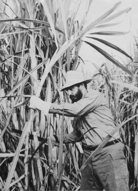 Fidel coupe la canne à sucre, vers 1960