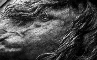 Portrait de Zingaro, le cheval emblématique