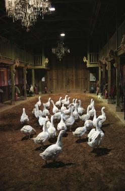 Ecuries d'Aubervilliers, les oies