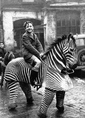Un adolescent chevauche un zèbre en peluche qui est en réalité un animal mécanique grandeur nature, vers 1930.